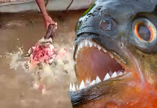 attacks girl fish Piranha
