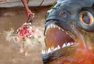 attacks girl fish Piranha
