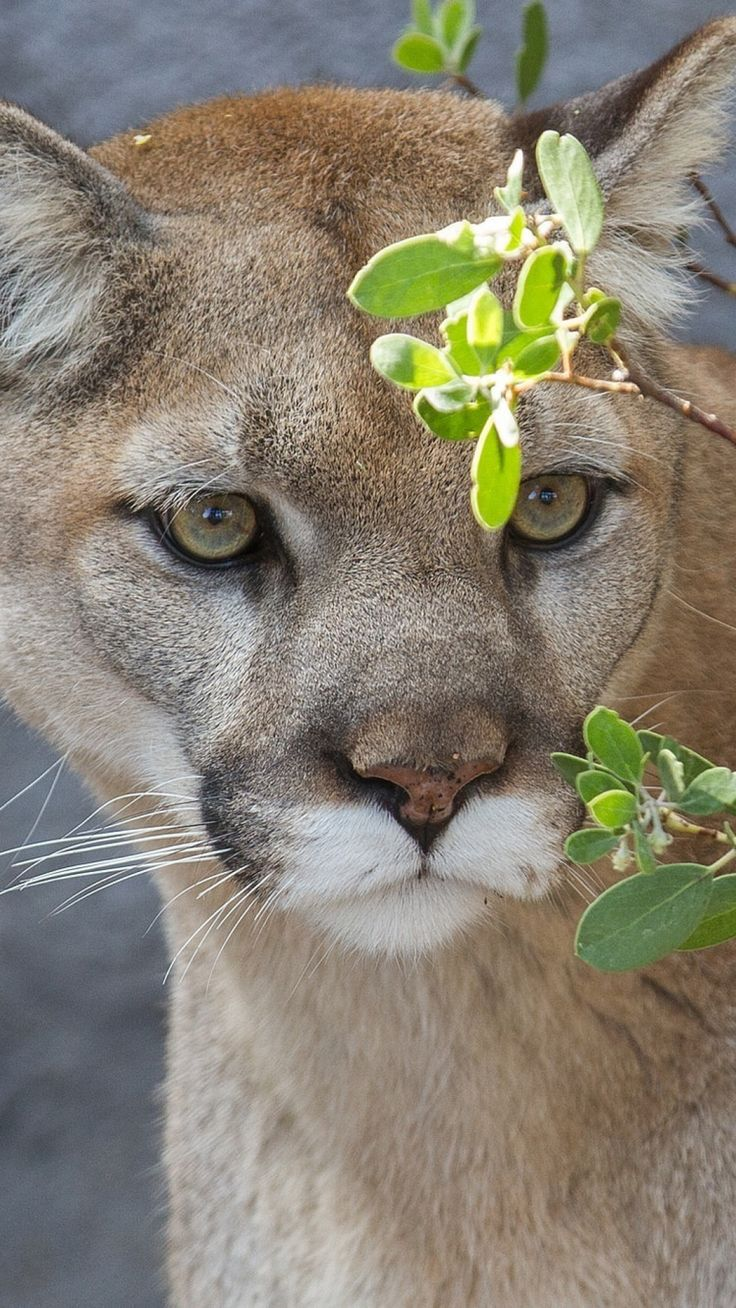 lion Cougar pics funny